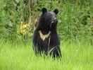 クマ捕殺最多、全国で5千頭超え