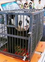 中国四川省のパンダ保護研究センターに移送されるジャイアントパンダ「偉偉」=20日、湖北省武漢市(共同)