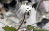 キクバオウレン 春を告げる小さな花 足羽三山生きもの王国(2)