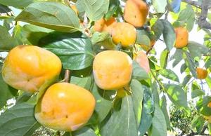 鮮やかに色づいた「越前柿」=2018年、福井県あわら市柿原