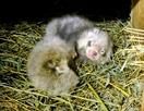 レッサーパンダに双子の赤ちゃん