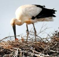 電柱の上の巣でふ化したコウノトリのひなと親鳥=6月1日、福井県坂井市内