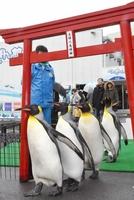 正月に向け、初詣の練習をするオウサマペンギン=12月26日、福井県坂井市の越前松島水族館