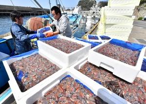 ホタルイカ漁、越前町で最…