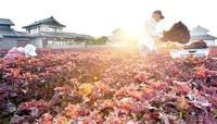 伝統野菜アピール、未来へ歴史残す 木田地区 ふくい・わがまち令和ビジョン