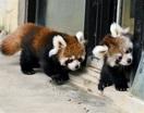 レッサーパンダ双子の赤ちゃん人気