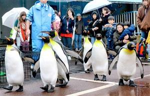 堂々とした足取りで来場者の注目を集めるオウサマペンギン=23日、福井県坂井市の越前松島水族館