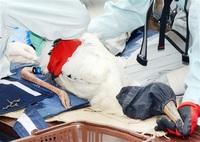 小浜・国富のコウノトリ ひな3羽成長、足環装着