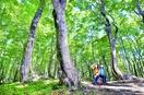 大野・平家平のブナ林、若葉茂らせ