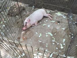 移動動物園で、散乱した餌の上で横になるブタ=東京都内
