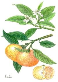 【レッツ!植物楽】 ウンシュウミカン(温州蜜柑) ミカン科 実の構造が特徴的