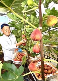 秋色ふっくら「若狭イチジク」収穫が最盛期 福井県、「今年も甘く仕上がった」