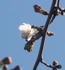 福井で桜開花、観測史上最も早く