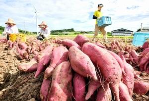 爽やかな青空の下、収穫されるサツマイモ「とみつ金時」=8月21日、福井県あわら市