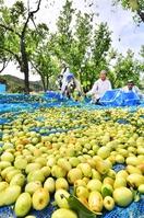 ビタミンや鉄分豊富、ナツメ収穫期