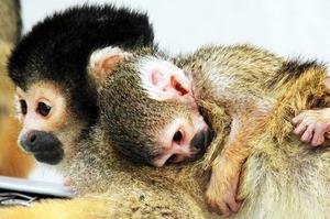 無事出産したボリビアリスザルのハッチ(左)にしがみつく赤ちゃん=福井県鯖江市の西山動物園(同園提供)