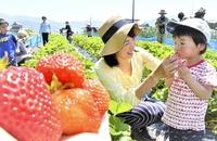 大野の農園で親子仲良くイチゴ摘み