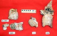 恐竜博物館発見の化石、新種と判明