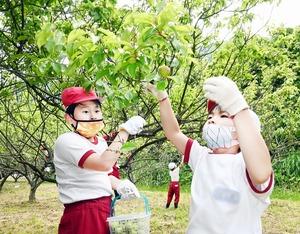 長橋小児童が梅の実収穫体験