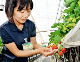 夏イチゴ「すずあかね」の出来をみる研究員=福井県美浜町の県園芸研究センター