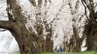 【こどもタイムズvol.523】福井・足羽川堤防 桜のトンネル、昔は桃林