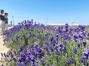 見頃を迎え、青空に映える紫のラベンダー=6月10日、福井県坂井市三国町加戸