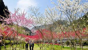 福井の山里、ハナモモの花…