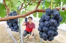三里浜のブドウやモモ、特産化へ