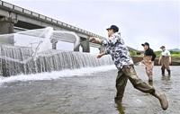 遡上アユ3500匹捕獲 福井・足羽川 県産拡大へ飼育
