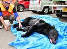 勝山市中心部の工場にクマ、射殺