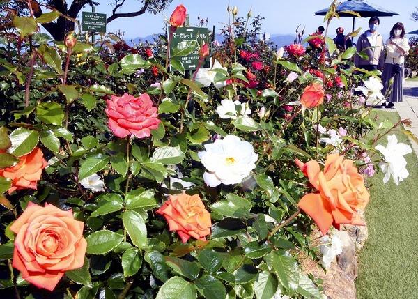 三方五湖山頂公園に600株のバラ