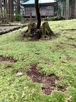 コケが持ち去られ、地面がむき出しになった箇所が点在する平泉寺白山神社の境内=11月、福井県勝山市平泉寺町平泉寺