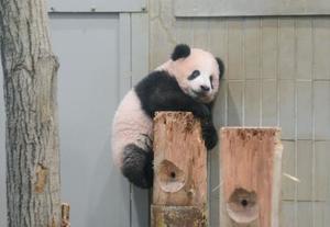 丸太によじ登るシャンシャン=6日、東京・上野動物園(東京動物園協会提供)