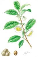 【レッツ!植物楽】チャノキ(茶の木) ツバキ科…