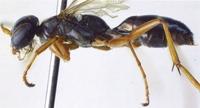 28年前に発見ハチ、新種だった