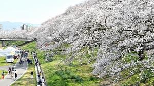 ソメイヨシノが咲き誇り、花見客でにぎわう足羽川河川敷=4月5日、福井県福井市つくも1丁目