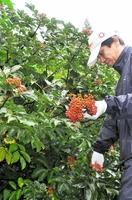 漢方薬の原料として初収穫されるゴシュユの果実=29日、福井県高浜町