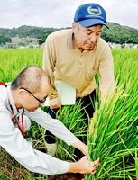 出穂したいちほまれ。買い取り価格が1万5千円に決まり、農家の所得向上が期待される=10日、福井市堅達町