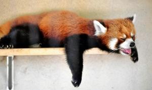 連日の暑さでぐったりと寝そべるレッサーパンダ=7月20日午後3時ごろ、福井県鯖江市西山動物園