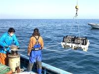 高浜の藻場 ウニから守れ 町内漁業者 食害受け新団体 2万匹駆除、魚礁設置