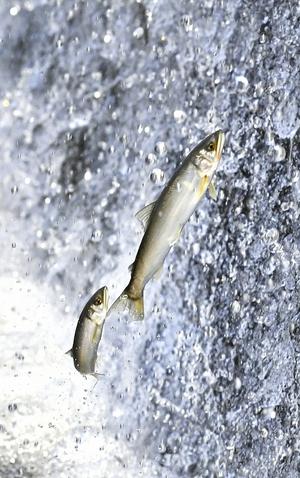 アユ遡上、次々ジャンプ輝く魚体