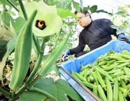 ビニールハウスの中で青々と育ち、収穫されるオクラ=福井県福井市菅谷町