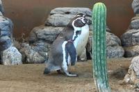 好奇心旺盛なフンボルトペンギン
