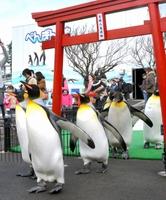 初詣の練習に励むオウサマペンギン=26日、福井県坂井市の越前松島水族館