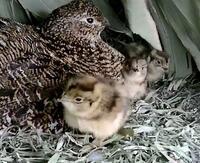 石川でライチョウ3羽誕生