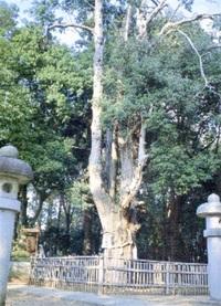 【ふくいの名木】 紀倍神社のオニヒバ 坂井市春江町木部西方寺