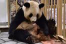 ジャイアントパンダの赤ちゃん NEWS