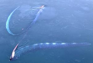 ゆらゆらと優雅に泳ぐ2匹のリュウグウノツカイ=2月15日午後4時10分ごろ、福井県越前町大樟(提供写真)