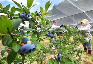 青紫色に実が色づき、収穫期を迎えたブルーベリー=13日、福井市引目町