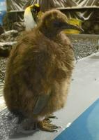 換羽の時期を迎えたオウサマペンギンの赤ちゃん。ふわふわした毛ももうすぐ見納め=5月5日、福井県坂井市の越前松島水族館